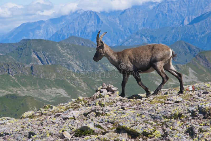 Download Young Male Ibex Royalty Free Stock Photo - Image: 25847615