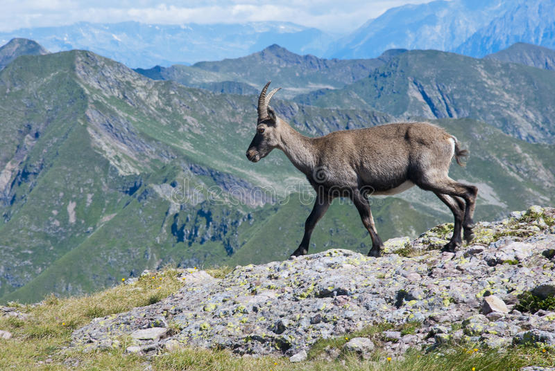 Download Young male ibex stock photo. Image of italy, italian - 25847624