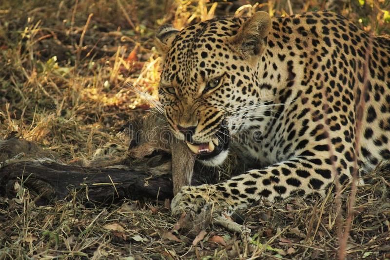 Young Male Leopard feeding stock photo