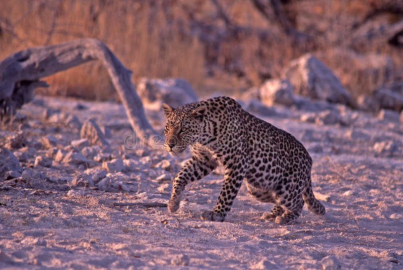 Download Young Male Leopard In Namibia, Africa Royalty Free Stock Images - Image: 16368459
