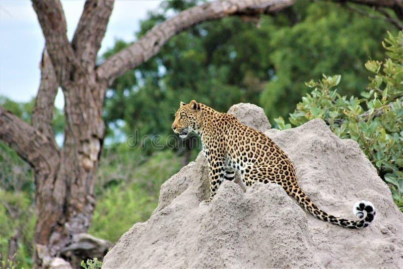 A young male leopard surveys the surrounding savanna on Chiefs island in the okavango delta Botswana. stock image