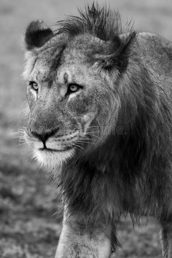 Download Young Male Lion stock image. Image of south, lion, africa - 19653805