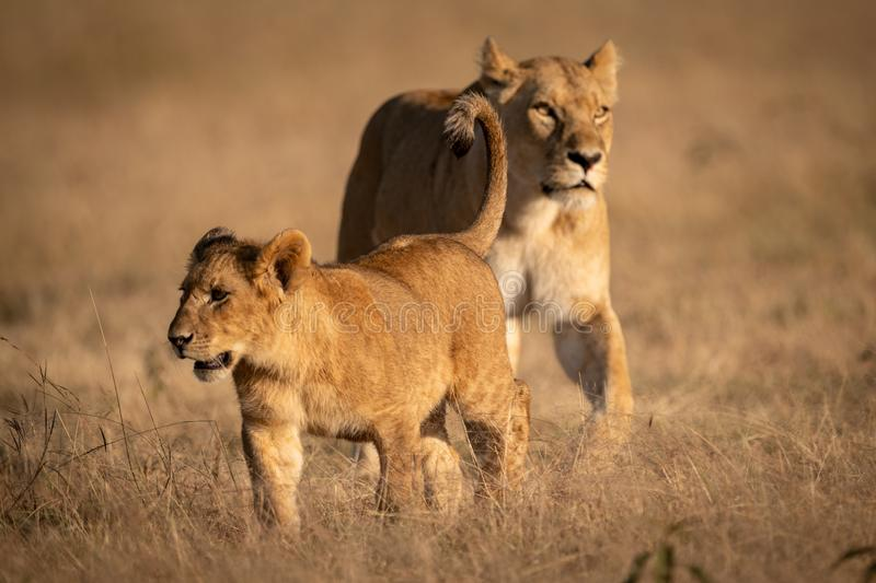 Young male lion crosses grass with lioness royalty free stock photo