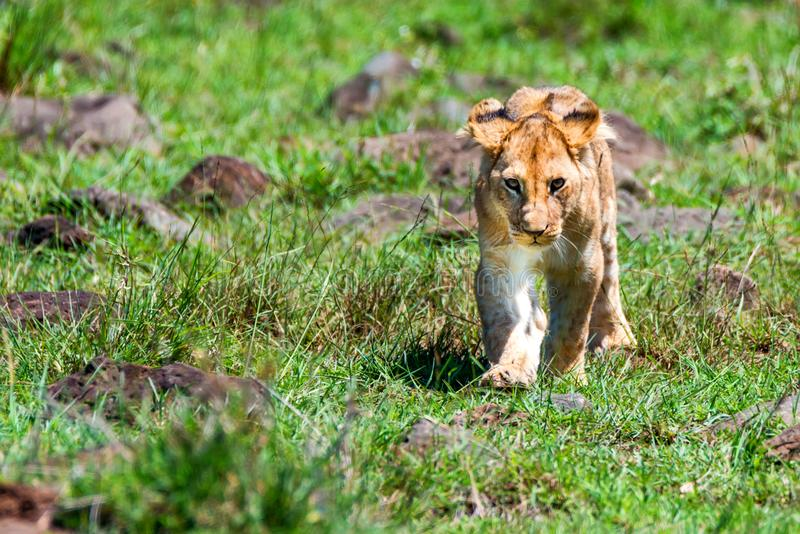 Young male lion or Panthera leo in nature stock photography