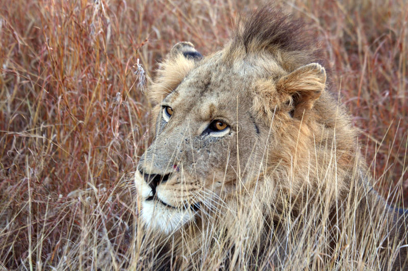 Young male lion with punk hairstyle royalty free stock photography