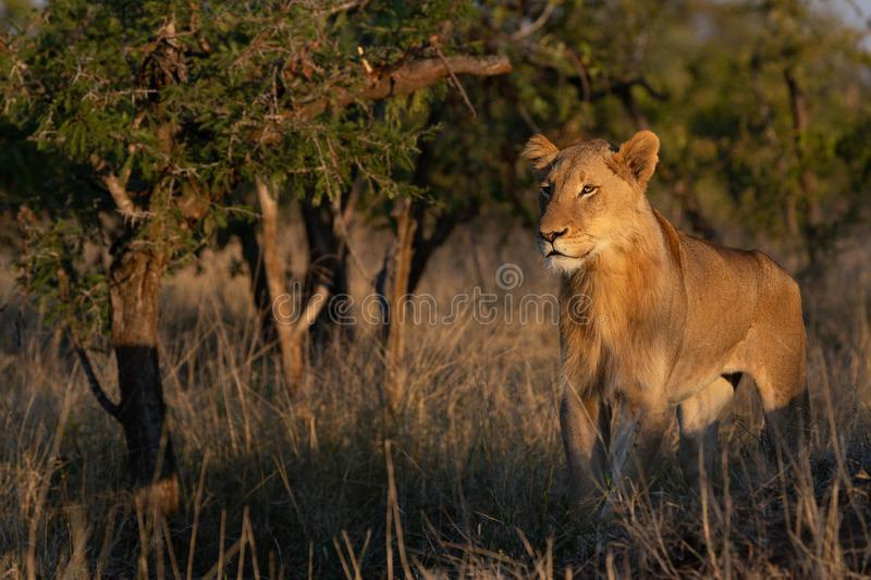 Young male lion standing and looking left. A young male lion stands and watches his pride move in the distance on a beautiful afternoon in the golden hour of the royalty free stock photos