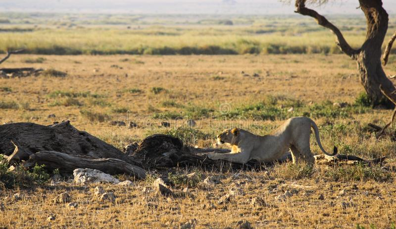 A young male lion stretching stock image