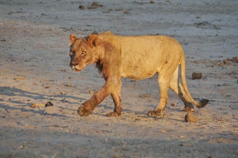 Young, male lion stock photos