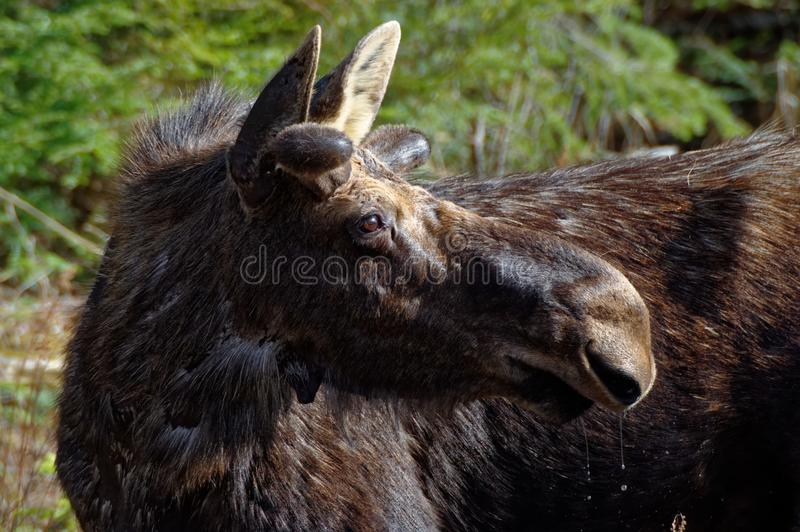 Young Male Moose with natural vegetation taking a break from the spring water stock images