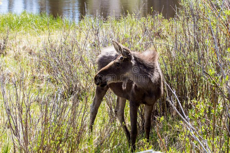 Young Male Moose at Sprague Lake in Rocky Mountain National Park. Young male moose in Rocky Mountain National Park near Estes Park. He was enjoying the warm stock photos