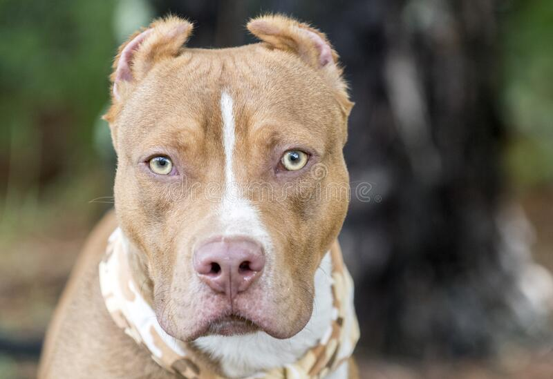 Red American Pitbull Terrier with cropped ears and bandana. Young male red nose American Pitbull Terrier with cropped ears and bandana outside. Dog rescue pet royalty free stock photos