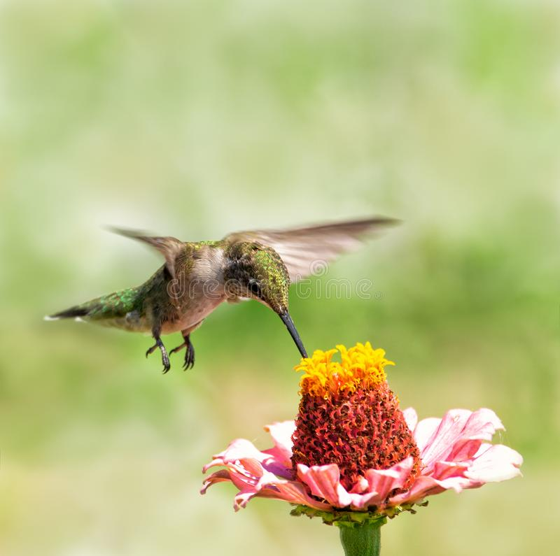 Young male Ruby-throated Hummingbird hovering over a Zinnia flower. Getting nectar from it stock images