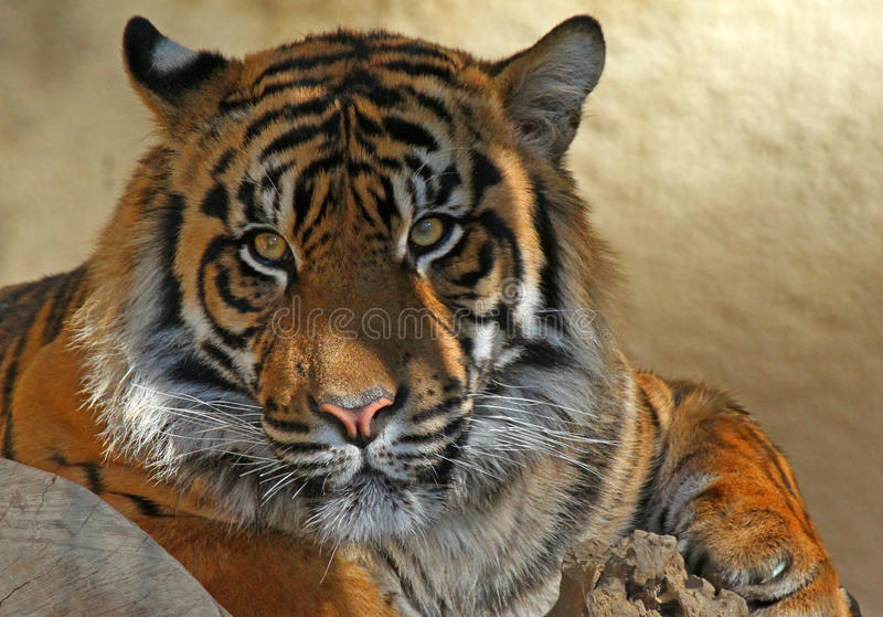 Download Tiger Portrait stock photo. Image of dramatic, asian - 29803992
