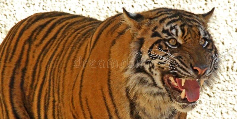 Download Tiger stock photo. Image of laying, fury, india, bengal - 29804080