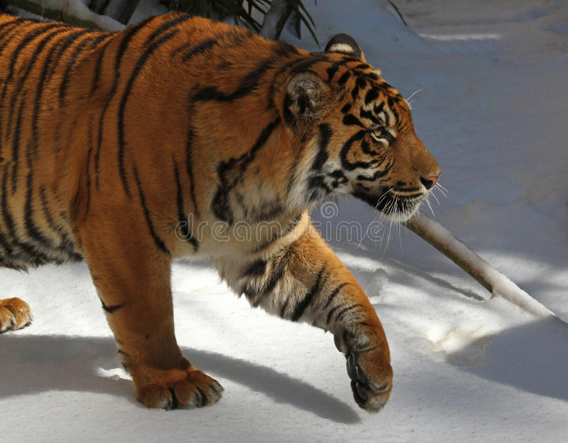 Tiger. Young Male Tiger Walking In Snow royalty free stock image