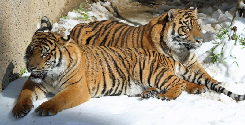 Download Tigers stock photo. Image of relax, juvenile, face, buckskinman - 29865696