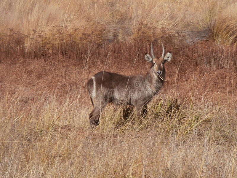 Young Male Waterbuck Chewing On Grass stock photo