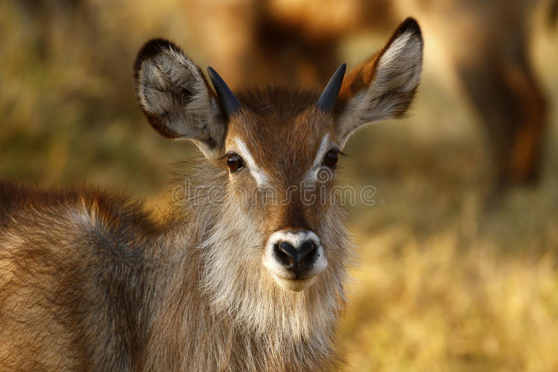 Young male Waterbuck royalty free stock image