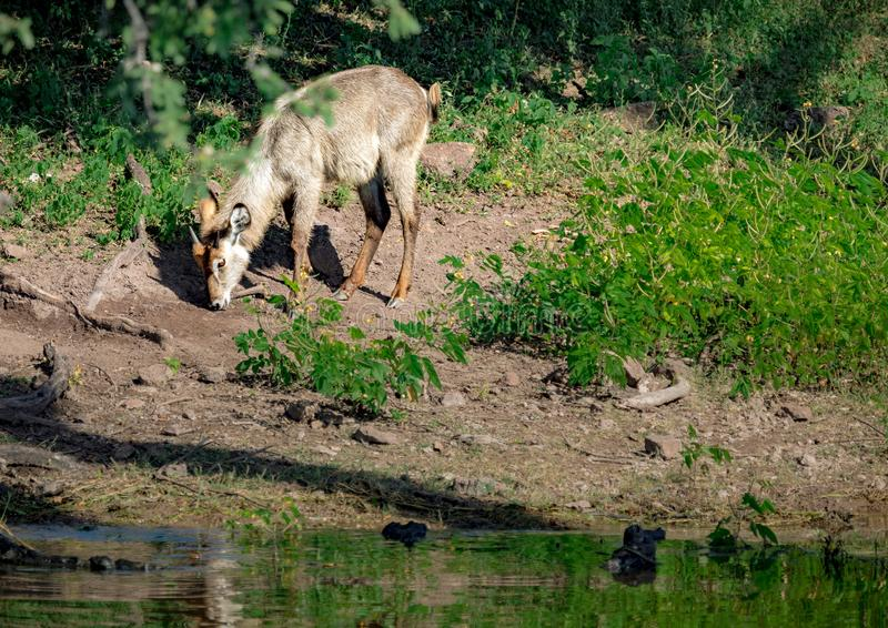 Young male Waterbuck near the Chobe river in Botswana stock images
