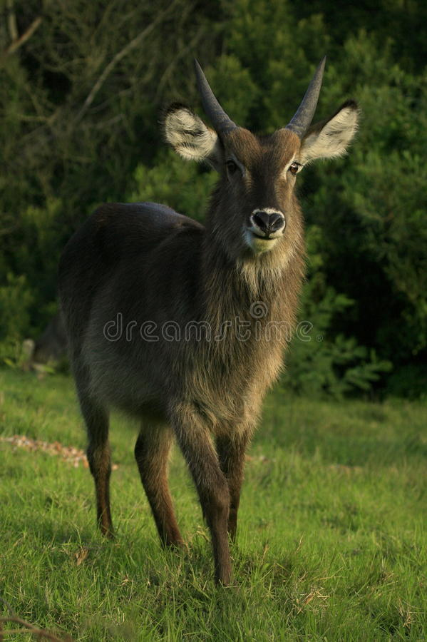 A young male waterbuck in South Africa royalty free stock images