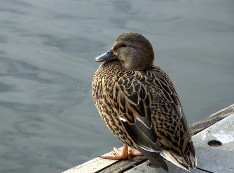 Download Young mallard duck stock photo. Image of resting, mallard - 33558174