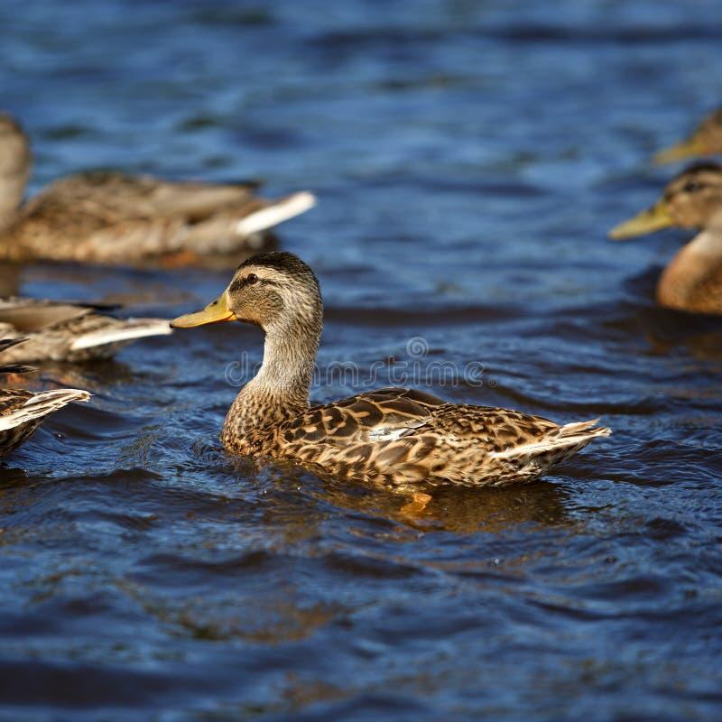 Mallard Young Ducks Stock Photo. Image Of Summer, Duckling