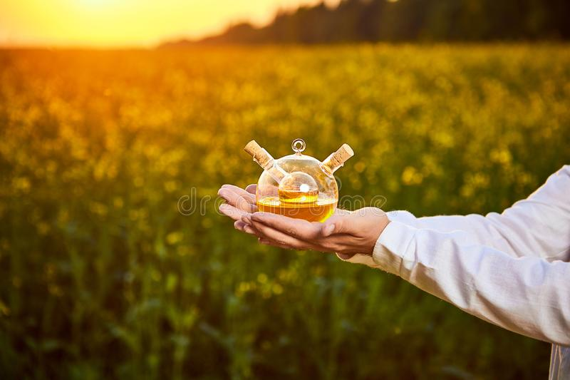 A young man biologist or agronomist examines the quality of rapeseed oil on a rape field. Agribusiness concept. A young man biologist or agronomist examines the royalty free stock photos