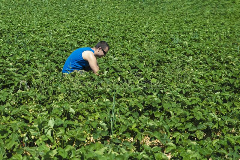 Young man in a blue t-shirt collects strawberries on a green strawberry field royalty free stock photo