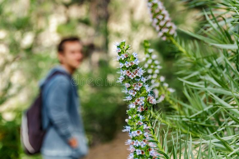 Young man in the blurred background looks at beautiful Flower - Tajinaste Azul, surrounded by pine trees. Rocky path in dry. Mountain area with needle leaf stock photos