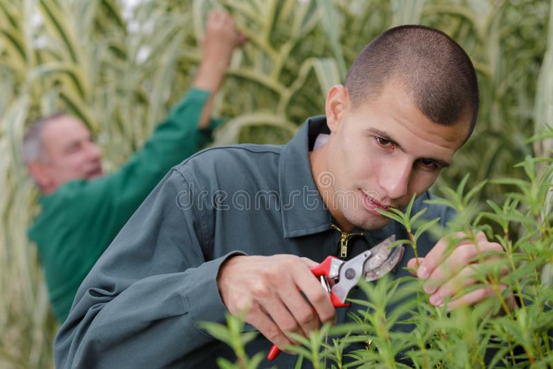 Young man cutting branch with pruning shears. Young men cutting a branch with a pruning shears royalty free stock image