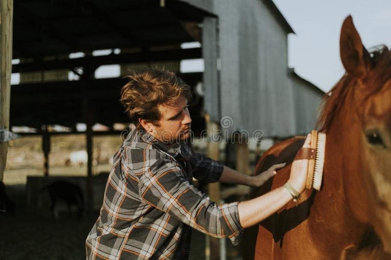 Young man grooming his horse stock images