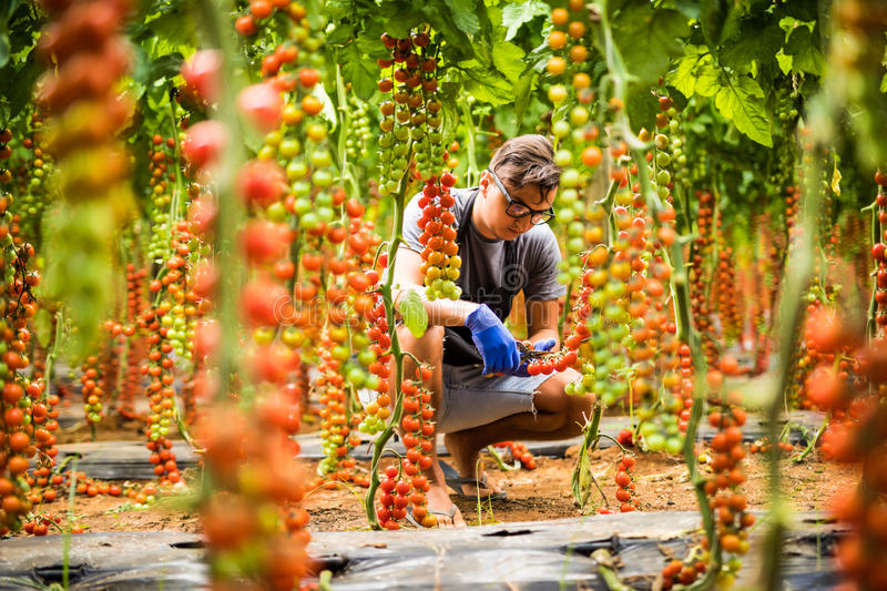 Young man with harvest of tomato cherry in greenhouse background stock images