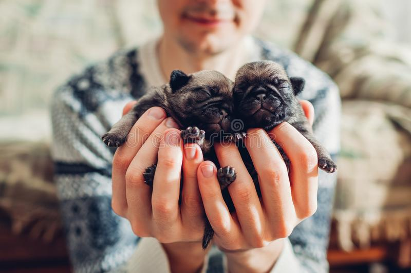 Young man holding pug dog puppies in hands. Little puppies sleeping. Breeding dogs stock image