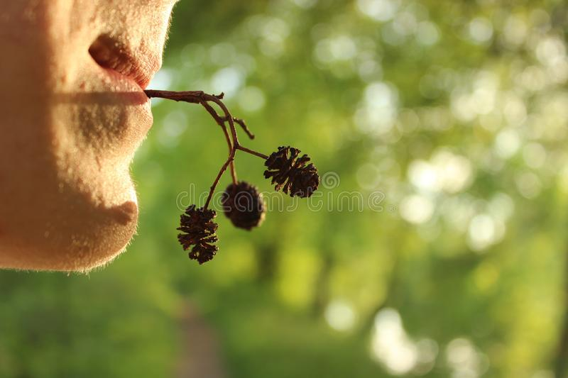 A young man holds in his mouth a twig of a plant with cones at sunset on the background of bright greenery stock photography