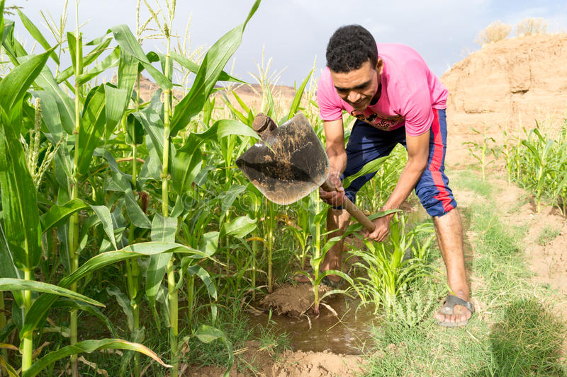Young man irrigating the maize corn field. Young farmer holding a hoe with his strong hands to irrigate the corn field. The young farmer is controlling the stock image