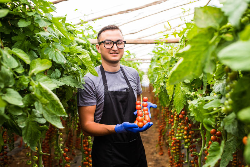 Young man with tomato cherry in hands demonstrate the ripe of ha royalty free stock photography