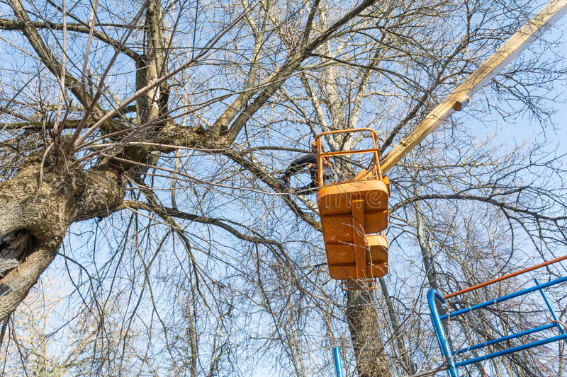 A young man, a worker, with a chainsaw at the height of sawing branches of a large tree that fall to the ground. Being in the cradle of the aerial platform, a royalty free stock photo