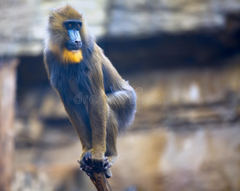 Young Mandrill Stock Photography
