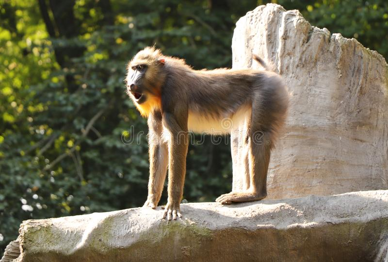 A young mandrill standing on the top of rock and he showing us how greatest is he.  royalty free stock images