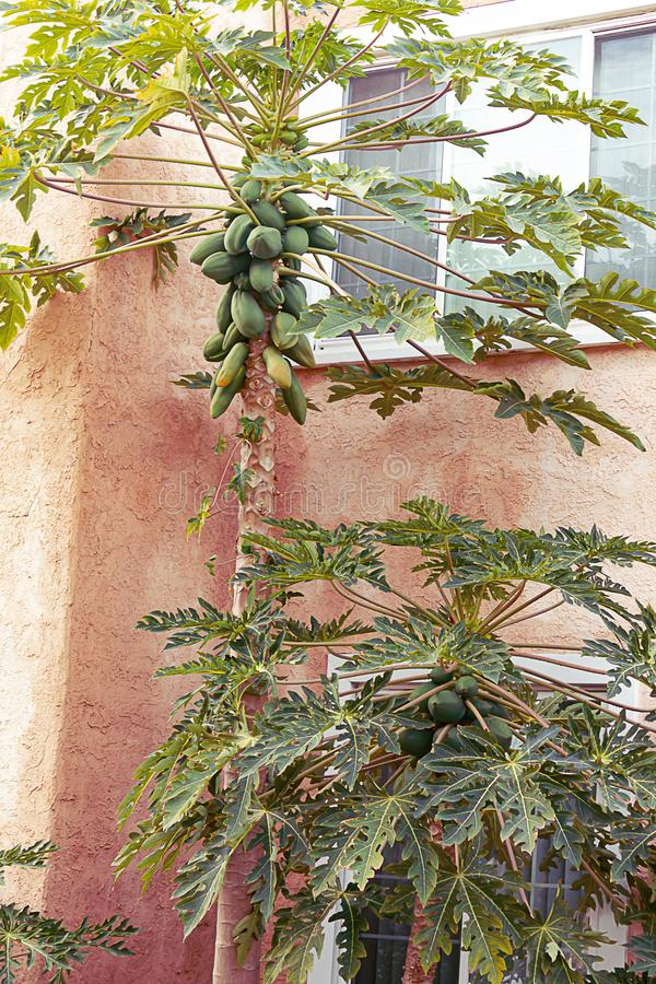 Young Mango Tree With A Group Of Young Mangos Growing ...
