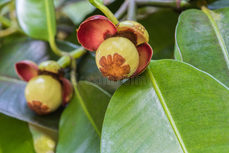 Young mangosteen on tree stock photos