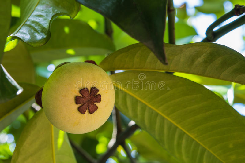Young mangosteen on tree stock images
