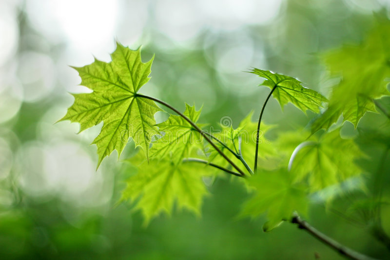 Young maple leaves with narrow DOF stock image
