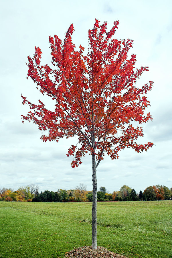 Young Maple Tree Royalty Free Stock Photography