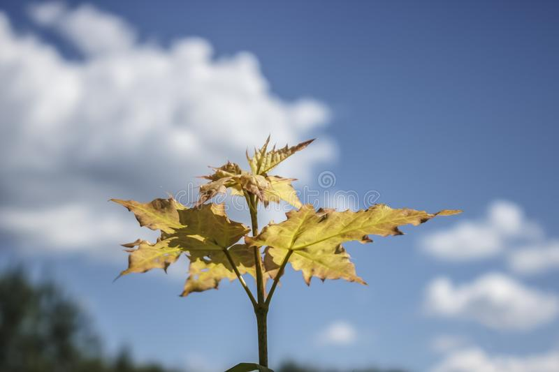 Young maple tree on blue sky background. stock image