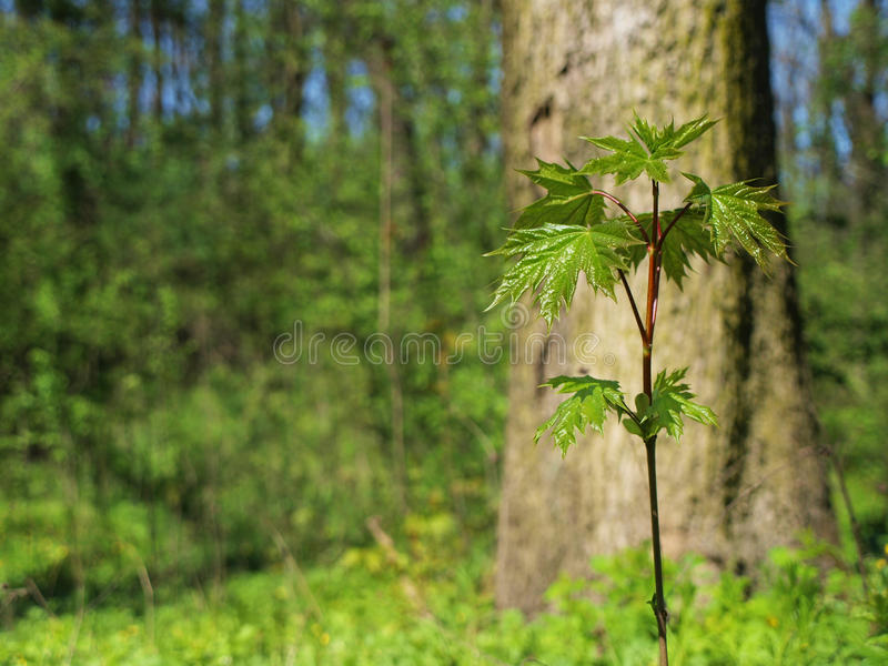 Young maple tree in the forest stock images