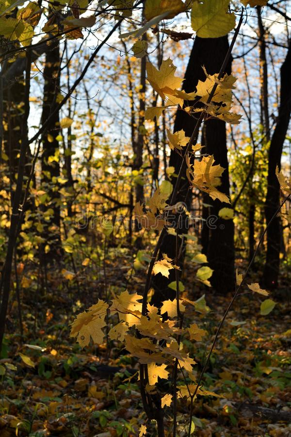 Young maple tree with golden foliage in autumn forest. Sunny day in fall season royalty free stock image