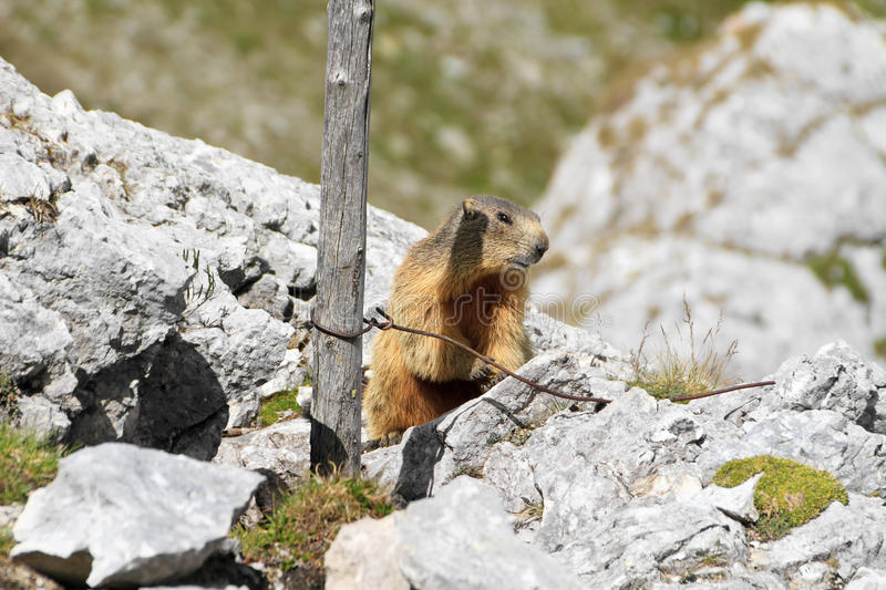 Download Young marmot stock photo. Image of green, whistle, standing - 23377776