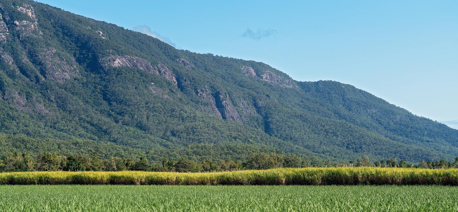 Young And Mature Sugar Cane Fields In Australia. Crops of young and mature sugar cane in the Australian countryside with a mountain backdrop royalty free stock photo