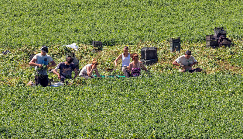Young Migrant Farm Workers. Young migrant agricultural workers picking vegetables on a farm in Worcestershire, England royalty free stock image